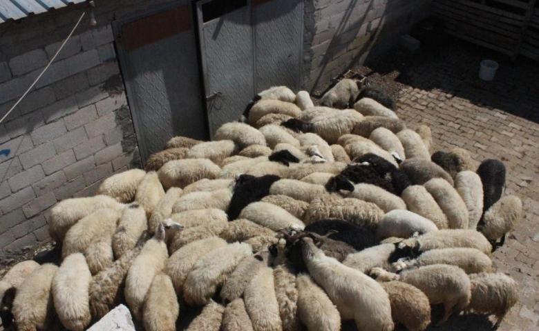 Kilis'te Çaldığı koyunların parasını gazinoda yedi